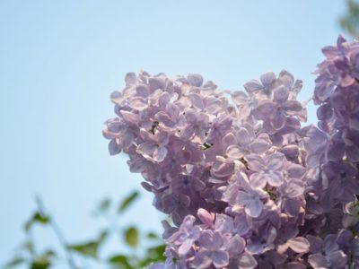 札幌のおまつりシーズン到来〜ライラックまつりの楽しみ方